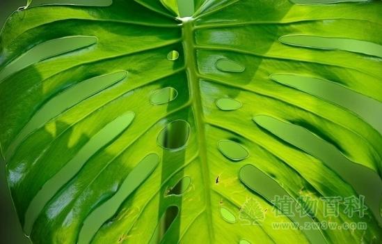 龟背竹图片-龟背竹(花期图,果期图,欣赏图)