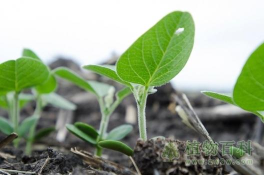 [黄豆种植时间]黄豆什么时候种