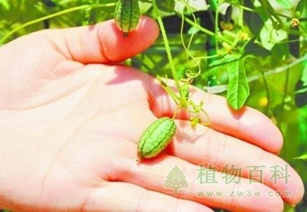 世界最小的西瓜--佩普基诺