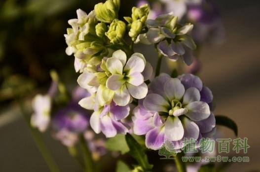 紫罗兰花语是什么?
