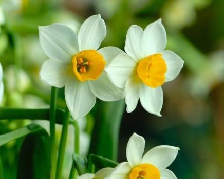 土壤培殖的水仙花