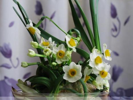 用水培殖的水仙花