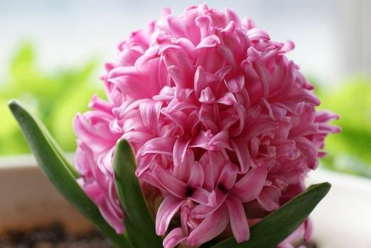 粉赤色的风信子花