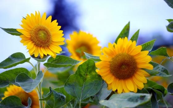 给予人勇气的向日葵