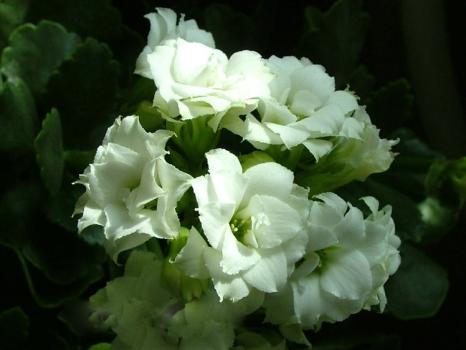 白星长寿花