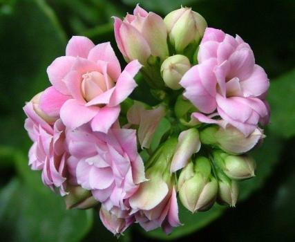 红粉菲菲长寿花