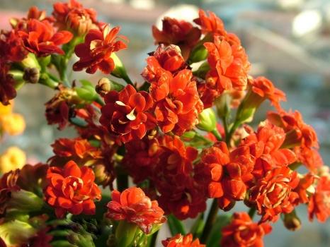 羽叶红长寿花