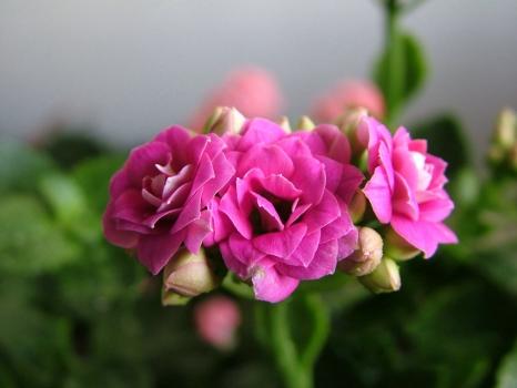 桃粉茱蒂长寿花