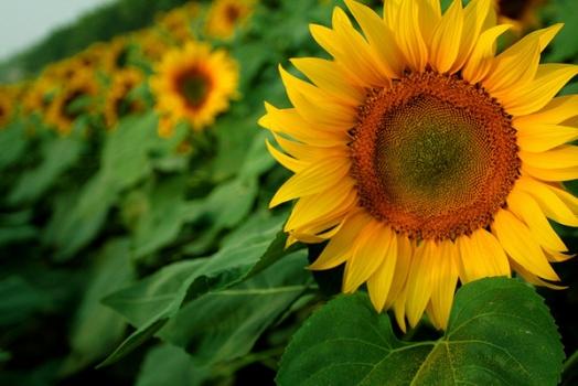 灿烂的向日葵