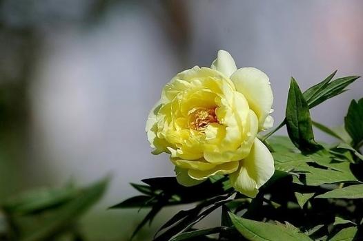 黄色类牡丹花