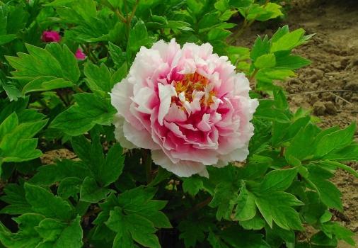 粉色类牡丹花