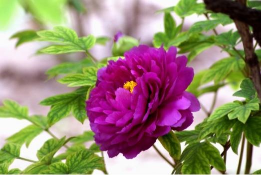 紫色类牡丹花