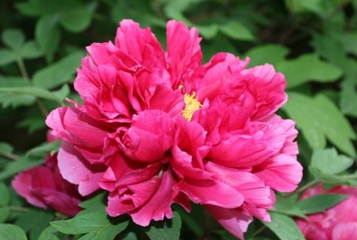 紫红色牡丹花