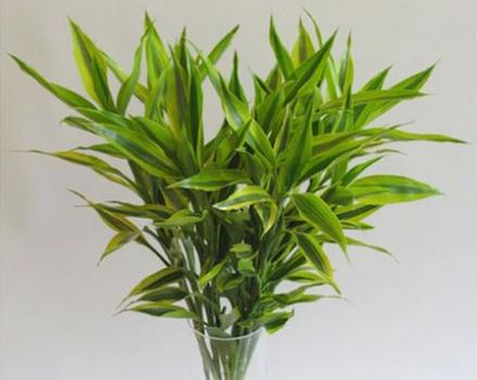 强晒富贵竹叶子发黄