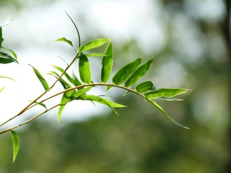凤尾竹叶子