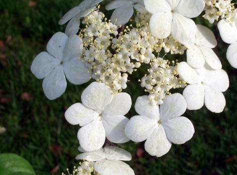 琼花什么时候开:4~5月开花