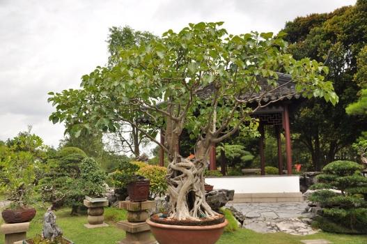 菩提树盆栽