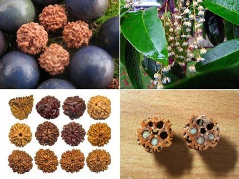 圆果杜英的果实与种子:金刚菩提子