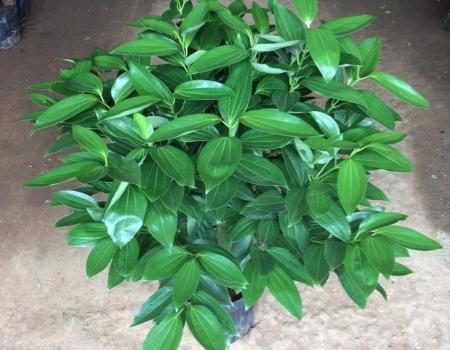 碧绿的平安树