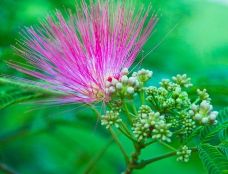 合欢花开花