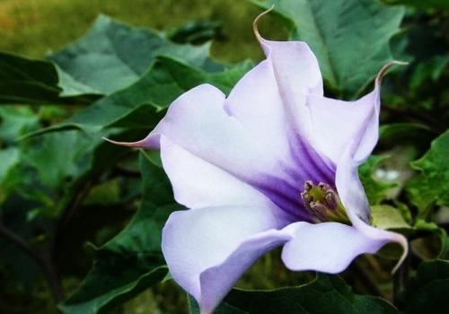 紫色曼陀罗花