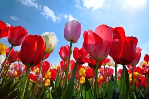桃花期_郁金香什么时候开花:生长纬度不同而开花时间各异