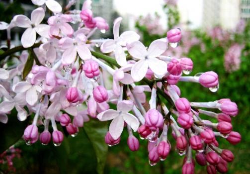 丁香花怎么养 丁香花的养殖方法和注意事项:地栽和盆栽的养法不同