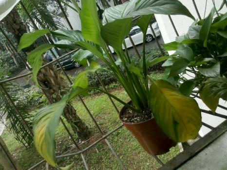 叶子发黄的白掌植株