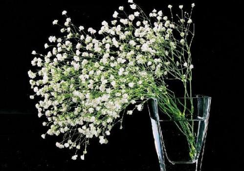 满天星花的花�_满天星_满天星花语_满天星图片_植物之家