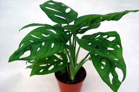 盆栽龜背竹
