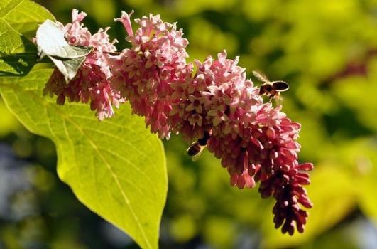丁香价格:幼苗,盆栽,花茶价格各不同