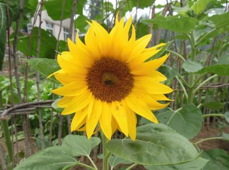 向日葵欣赏