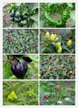 辰山植物园100多种奇异瓜果成熟