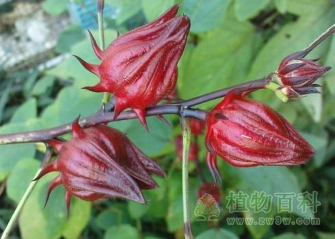 玫瑰色的花萼
