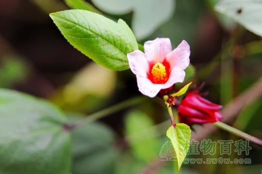 玫瑰茄的花朵