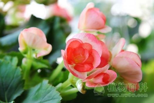 秋海棠图片-秋海棠(花期图,果期图,欣赏图)