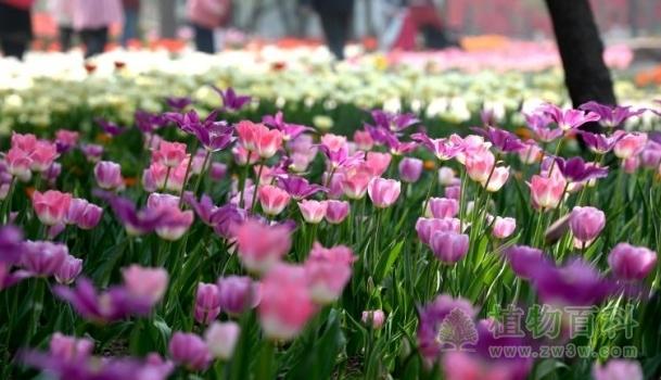 石家庄植物园第三届郁金香文化节于4日开幕