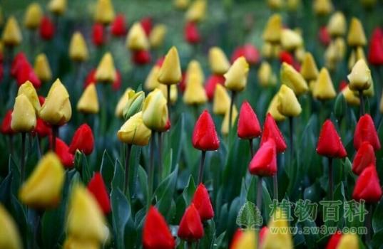 西安植物园郁金香展开幕,展出50个品种15万株