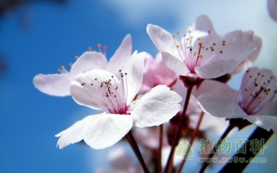 阳光下盛开的樱花