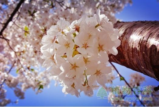 一簇簇的樱花