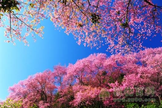 树上开满了樱花