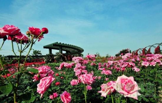 首届辰山植物园月季展周六起举办