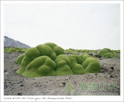 La Llareta植物