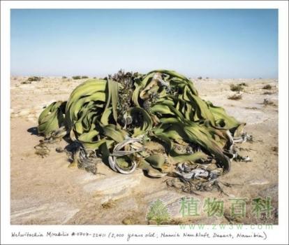Welwitschia Mirabilis赢8娱乐手机版