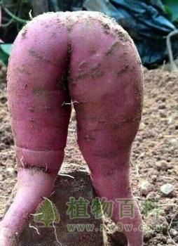 长相性感火辣风骚饱满的红薯