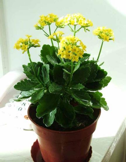 窗台上的长寿花