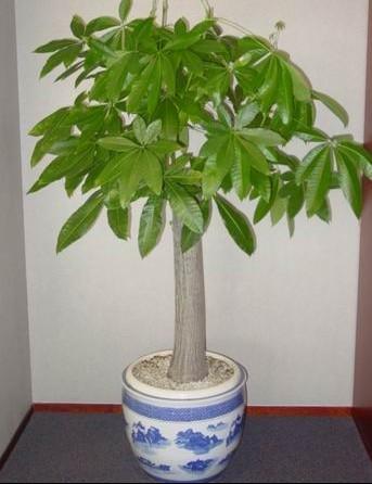 发财树室内盆栽