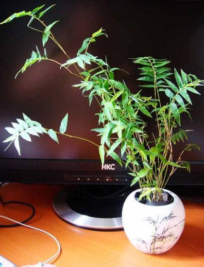 凤尾竹盆栽