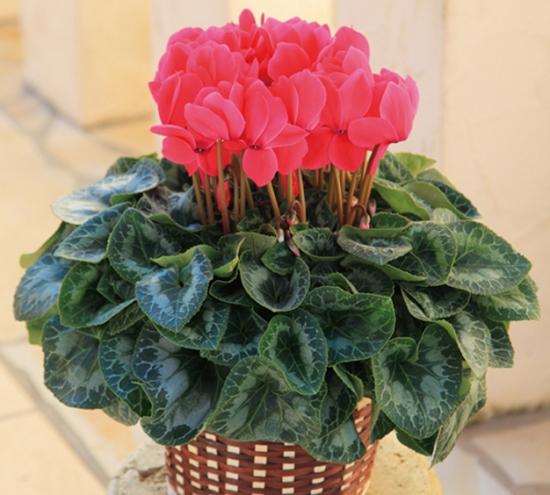 秋季植物花卉仙客来