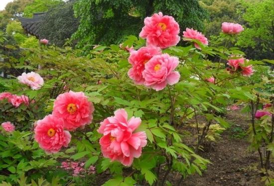 原产北方的花卉:牡丹